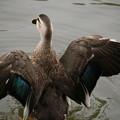 IMG_0678 お堀の水鳥
