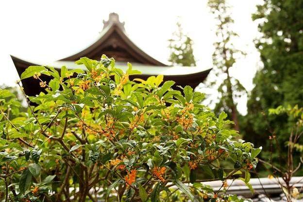 IMG_0896 円覚寺の山門と「キンモクセイ」