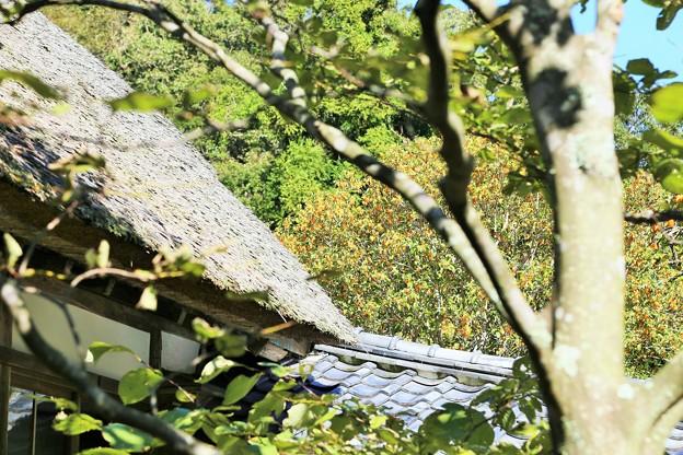 IMG_1788 浄智寺・藁ぶき屋根と「キンモクセイ」