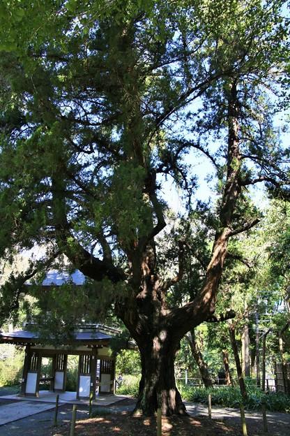 IMG_1846 浄智寺・鍾楼門と大樹「ビャクシン(伊吹)」