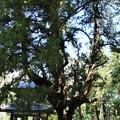 Photos: IMG_1846 浄智寺・鍾楼門と大樹「ビャクシン(伊吹)」
