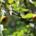 IMG_2161 明月院・開山堂の「柿」