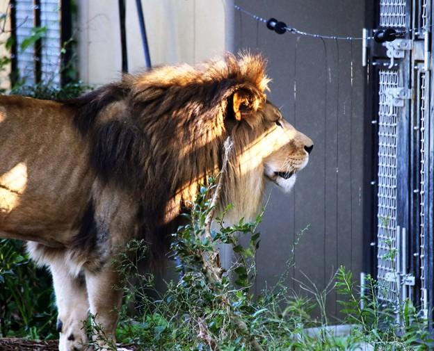 IMG_2641 ライオンも 戸締り気にする日本に なりに蹴り!
