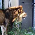 Photos: IMG_2641 ライオンも 戸締り気にする日本に なりに蹴り!