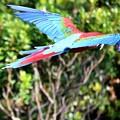 Photos: IMG_2829 ベニコンゴウインコの飛翔・火の鳥?!