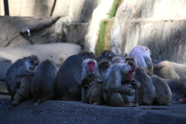 IMG_3906 多摩動物公園サル山の光景ー1