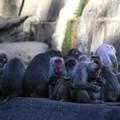 Photos: IMG_3906 多摩動物公園サル山の光景ー1