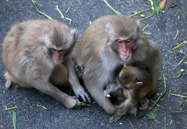 IMG_3903 多摩動物公園サル山の光景ー3