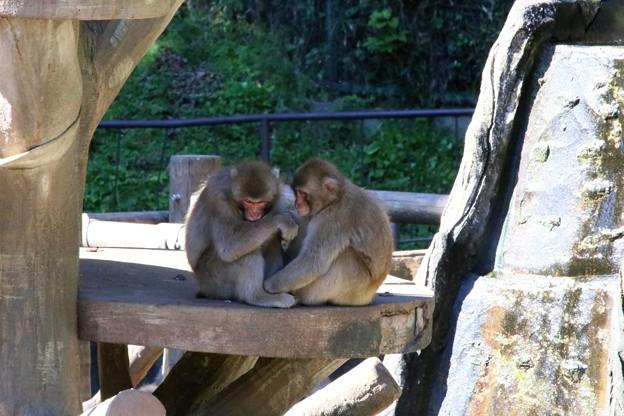 IMG_3911 多摩動物公園サル山の光景ー4