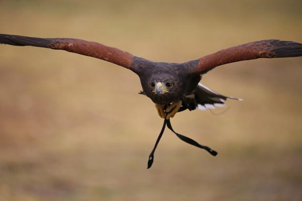 IMG_5354 鷹の飛行