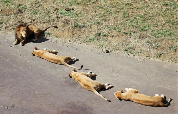 IMG_3981 縦列スヤスヤ(^^♪(ライオンはぐっすり寝ている)