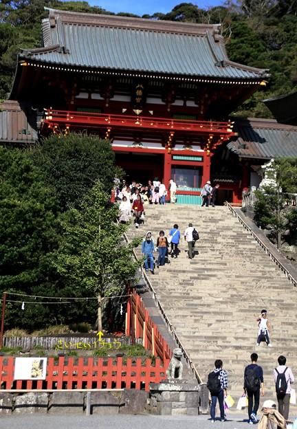 IMG_2248 鶴岡八幡宮・倒木イチョウの再生≪若木すくすく成長≫!