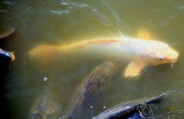 IMG_2274  鶴岡八幡宮・池の鯉