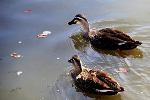 IMG_2273 鶴岡八幡宮・池の水鳥