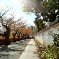 Photos: IMG_5828 二の丸通りにも忍者のように秋が忍び寄る