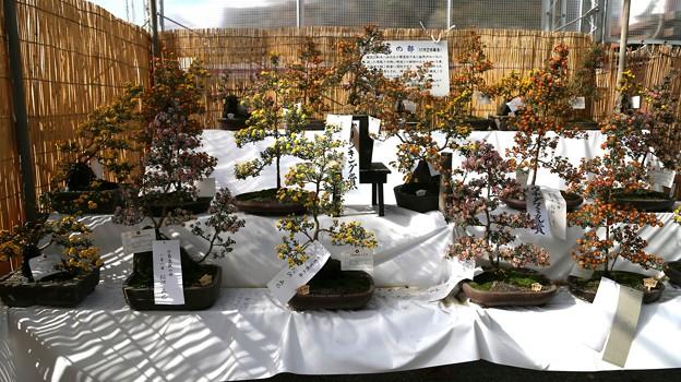 IMG_5844  小菊盆栽の部