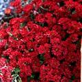 Photos: IMG_5959 名称不明?・深紅の小菊
