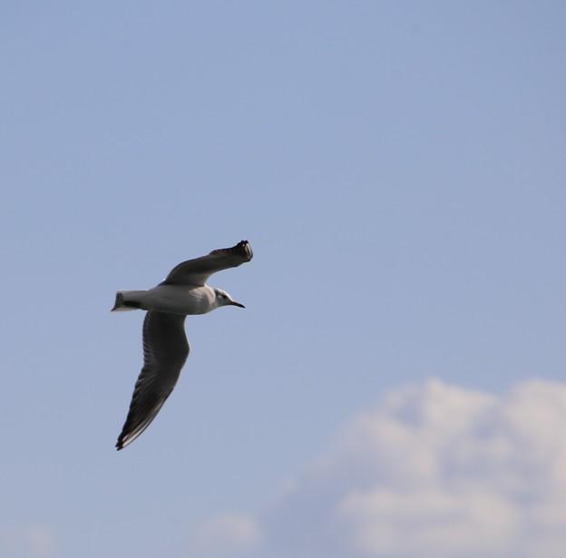 IMG_6393 海を見ていた午後・ウミネコ