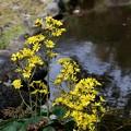 IMG_6094 万葉公園・池のツワブキ