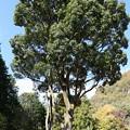 IMG_0072 幕山公園・多目的広場の気になる木