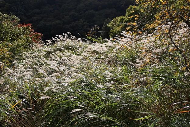 IMG_6301  幕山公園・すすき野