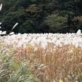 Photos: IMG_6239  幕山公園・オギの群生