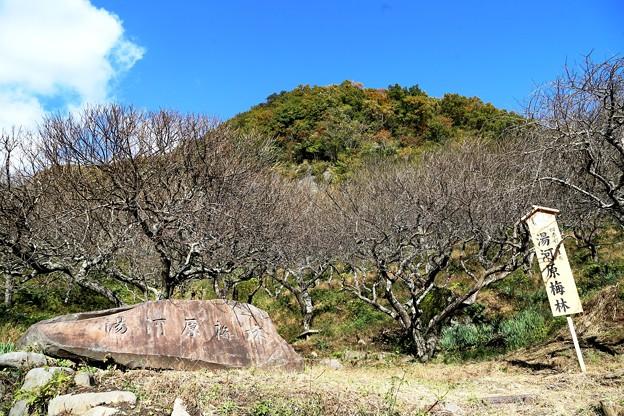IMG_0166 幕山公園・季節外れの梅林