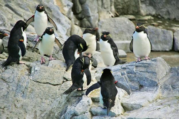 冬のペンギン・ミナミイワトビペンギンー1