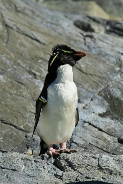 冬のペンギン・ミナミイワトビペンギンー2