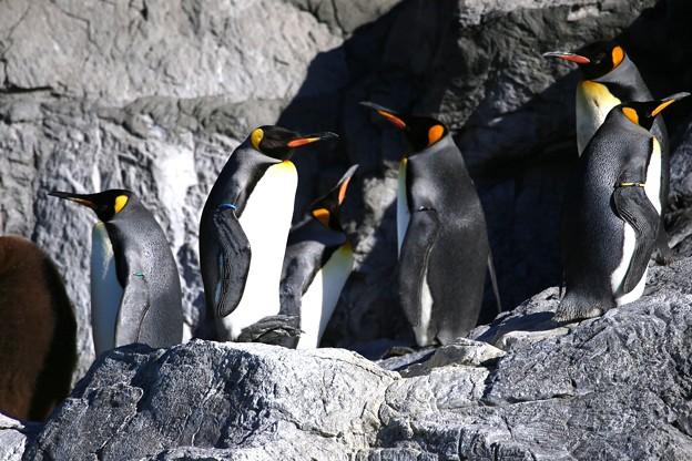 冬のペンギン・オウサマペンギンー1