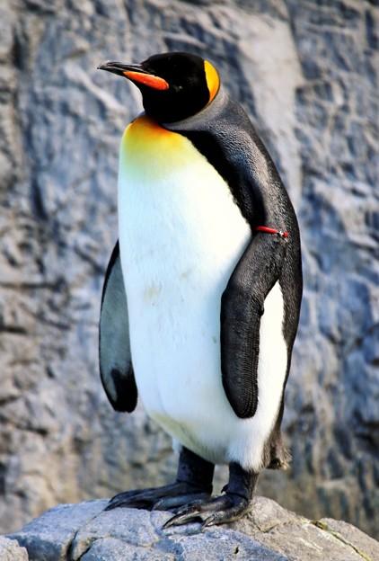冬のペンギン・オウサマペンギンー2