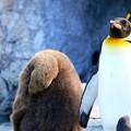 冬のペンギン・オウサマペンギンのヒナ