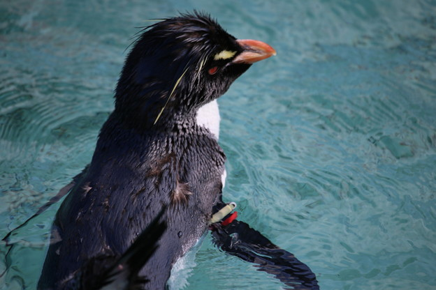 冬のペンギン2・ミナミイワトビペンギンー1