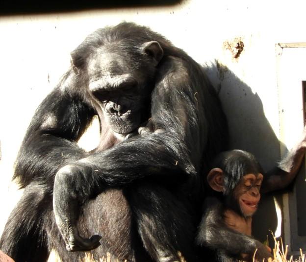 子供チンパンジーは確かに笑っていたようだった