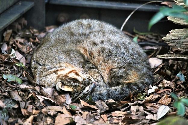 くるりんぱー1・ツシマヤマネコ(山猫はコタツじゃなくても丸くなる)
