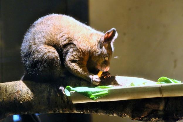 フクロギツネ-1・夜行性動物