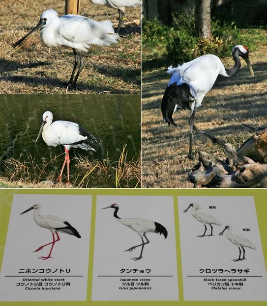 江戸時代に、葛西にいた鳥たち