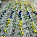 Photos: 旧遠藤家横の花壇