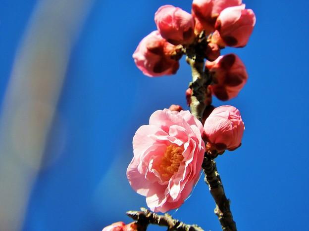 楊貴妃ー2(開花なので再)