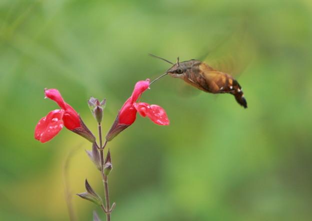 ハチドリの画像 p1_32