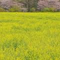 写真: 巾着田の春