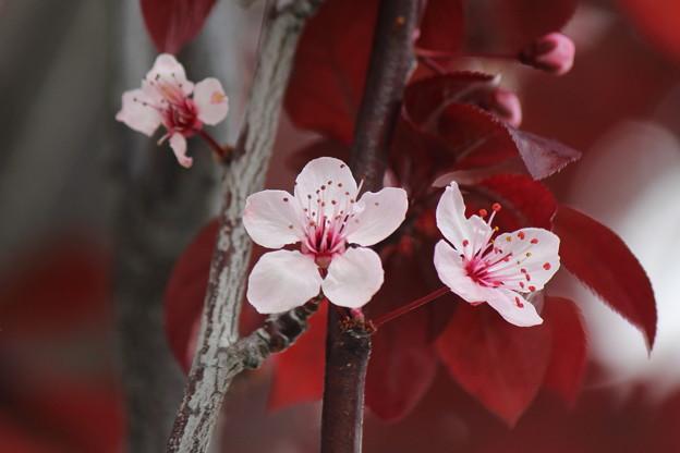Purple leaf sand cherry (バラ科)