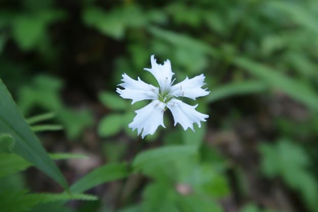 センジュガンピ (ナデシコ科)