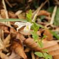 Photos: ミヤマママコナ 白花種 (ハマウツボ科)