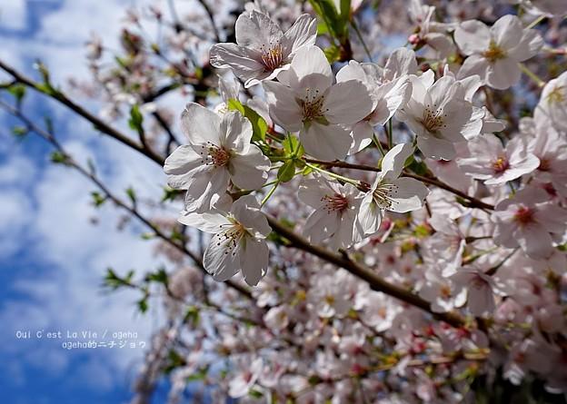 ハレの日桜。
