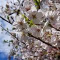 写真: ハレの日桜。