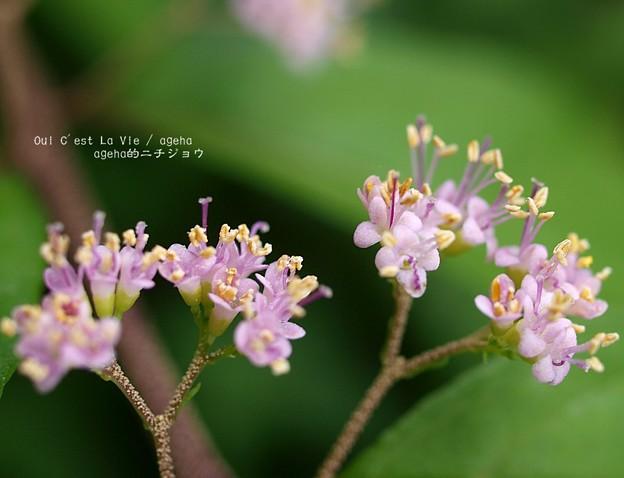 ムラサキシキブ開花。(シモフリスズメ用)