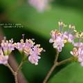 Photos: ムラサキシキブ開花。(シモフリスズメ用)