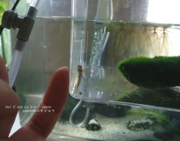 1cm5mmくらい。(ハゼ稚魚)