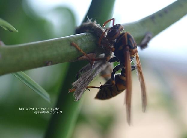 麻紐噛み噛み。(アシナガバチ)